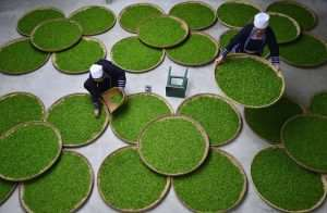 Ethnic Dong women work at a tea leaf processing factory in Lipin